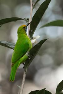 Jerdon's Leafbird