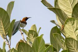 Crimson-backed Sunbird