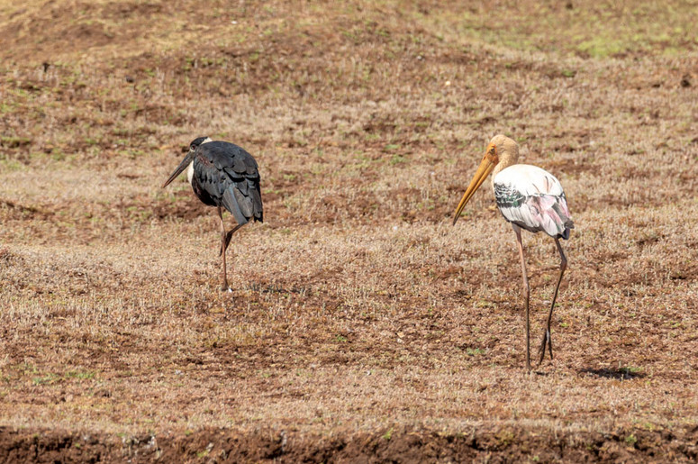 Painted Stork & Wolly Stork