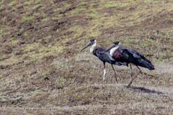 White Neck Stork
