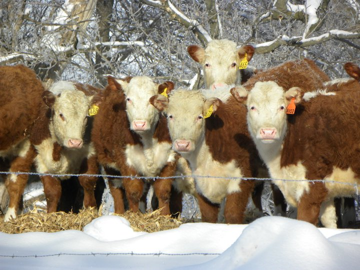 Winter Calves