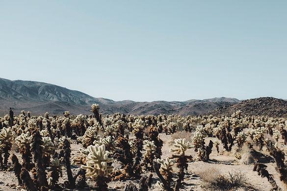Kaktus-Feld