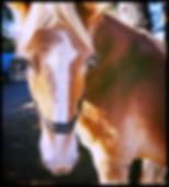 California Therpay Horses Mare Memberhsp