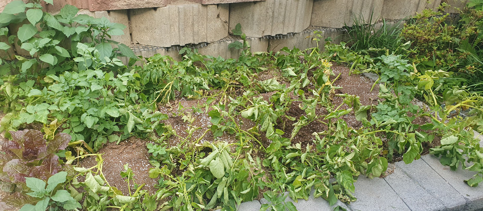 2021.6.21 감자 수확의 날