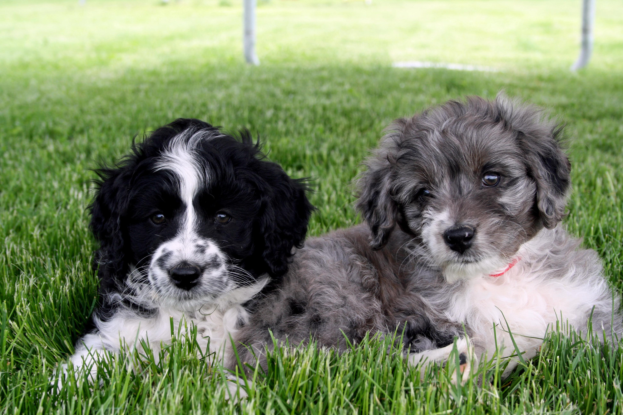 Aussiedoodle Puppies for sale | Mountain Gems Aussiedoodle