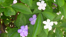 Brunfelsia – pretty but deadly