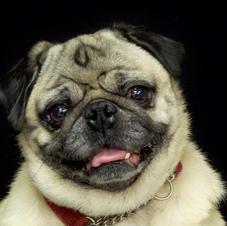 Maisy the Pug!