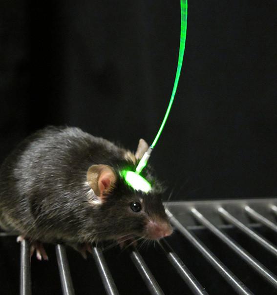 Mus med optogenetisk sensor. Foto: Deisseroth lab, Stanford University