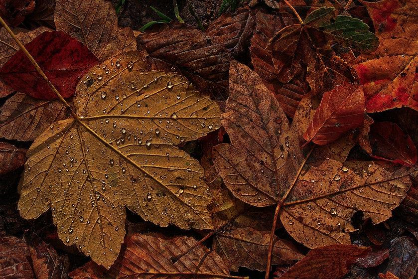 maple-leaf-4597501_1920.jpg