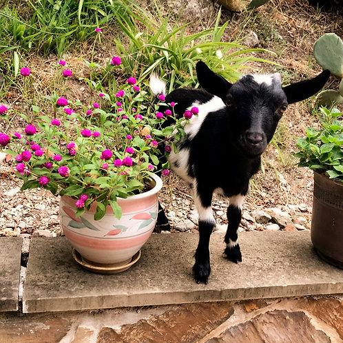Goat Gram