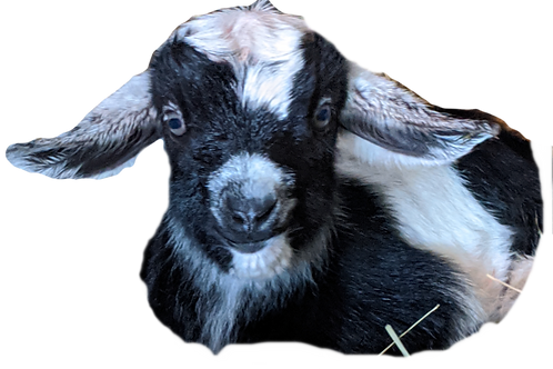 2 goats for 1 hour and travel fee