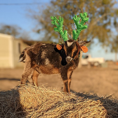 Holiday Goat Visit
