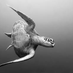 Turtle Edit bw1 copy.jpg