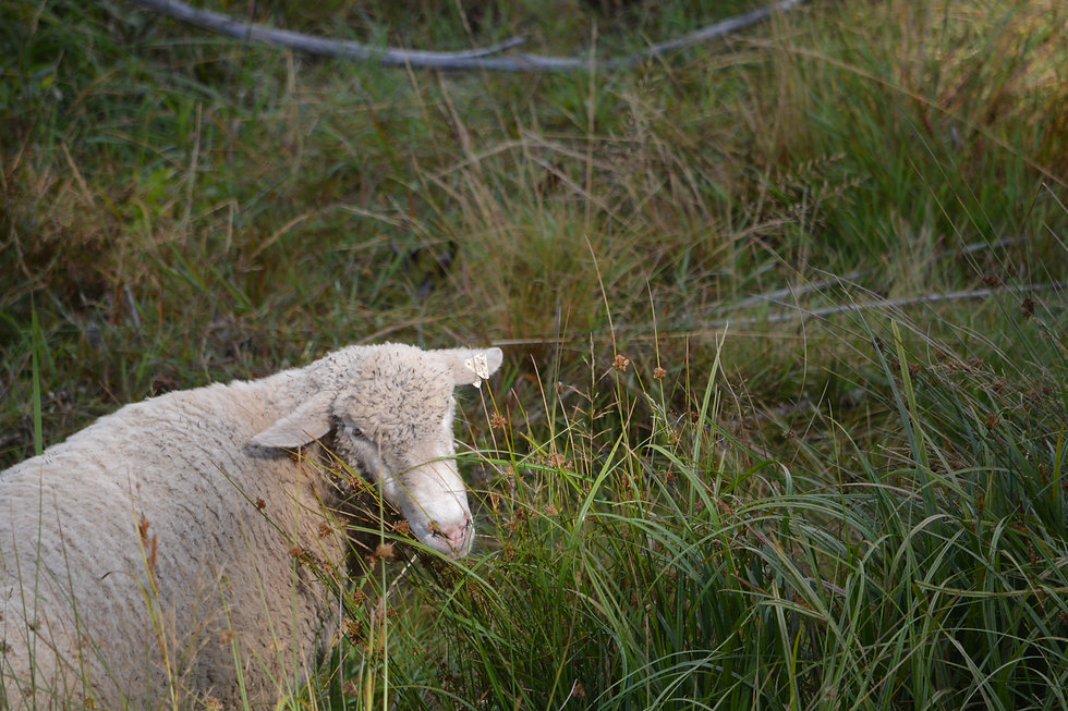 Lamb grazing