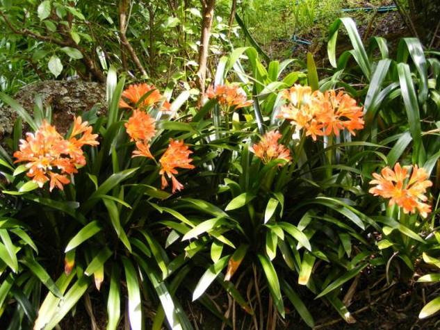 orange clivias.jpg