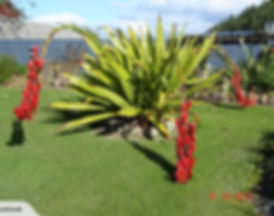Doryanthes Palmeri spear lily.jpg