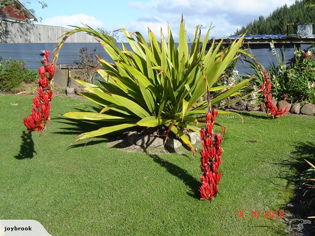 Doryanthes Palmeri spear lily.jpg