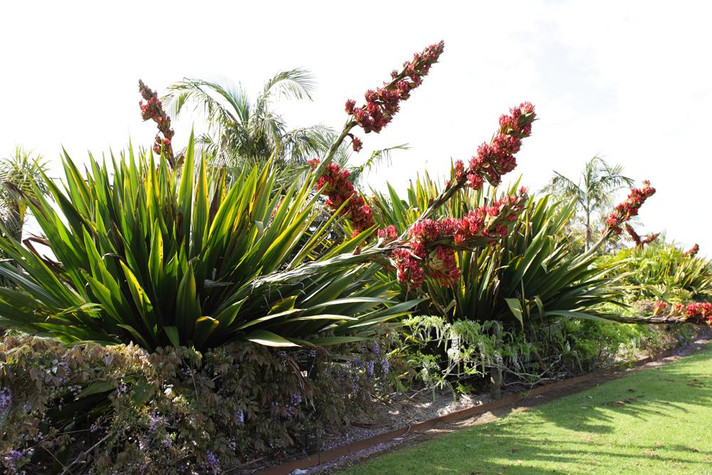 Doryanthes Palmeri spear lily 1.jpg