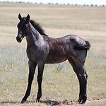 Unidentified Grey Mare Foal.JPG