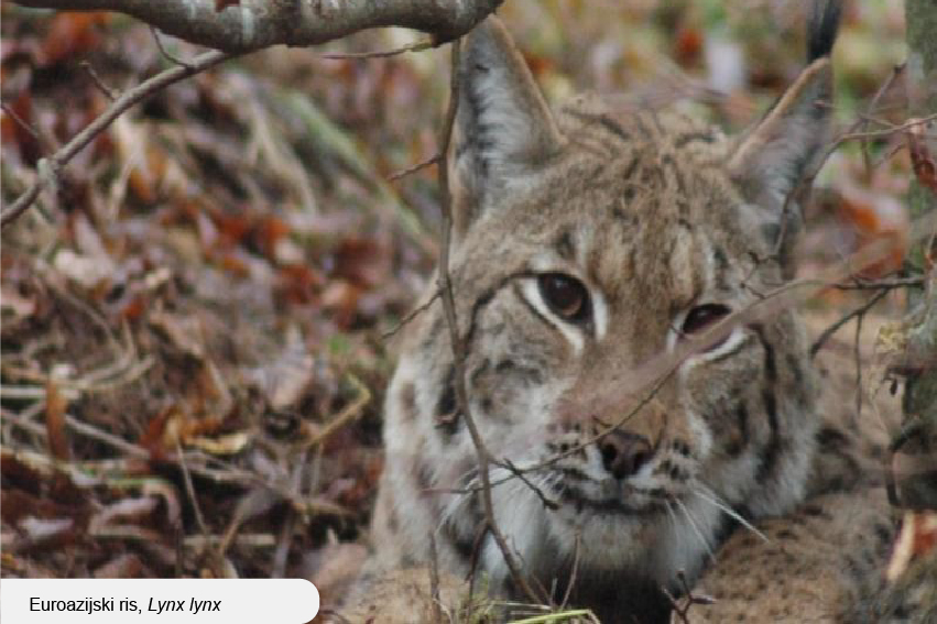 Euroasian lynx (Lynx lynx)