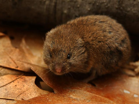 Ramble with the Lady: A vole & frontal boundaries