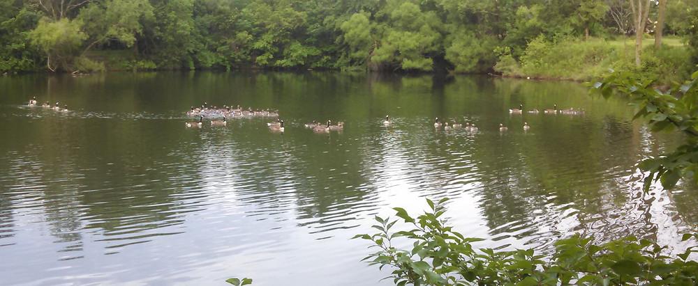 geese06-11-15.jpg