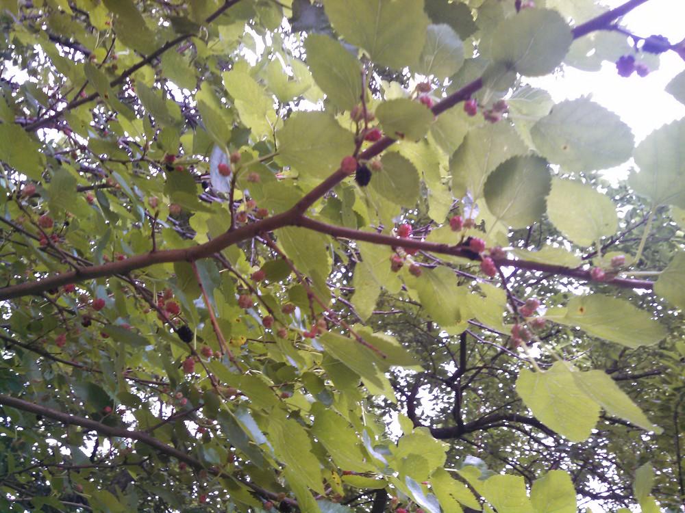 mulberries06-12-15.jpg