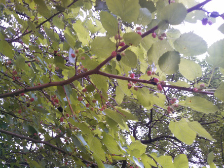 Mulberries, chipmunks & corralling fish: Ramble with the Lady