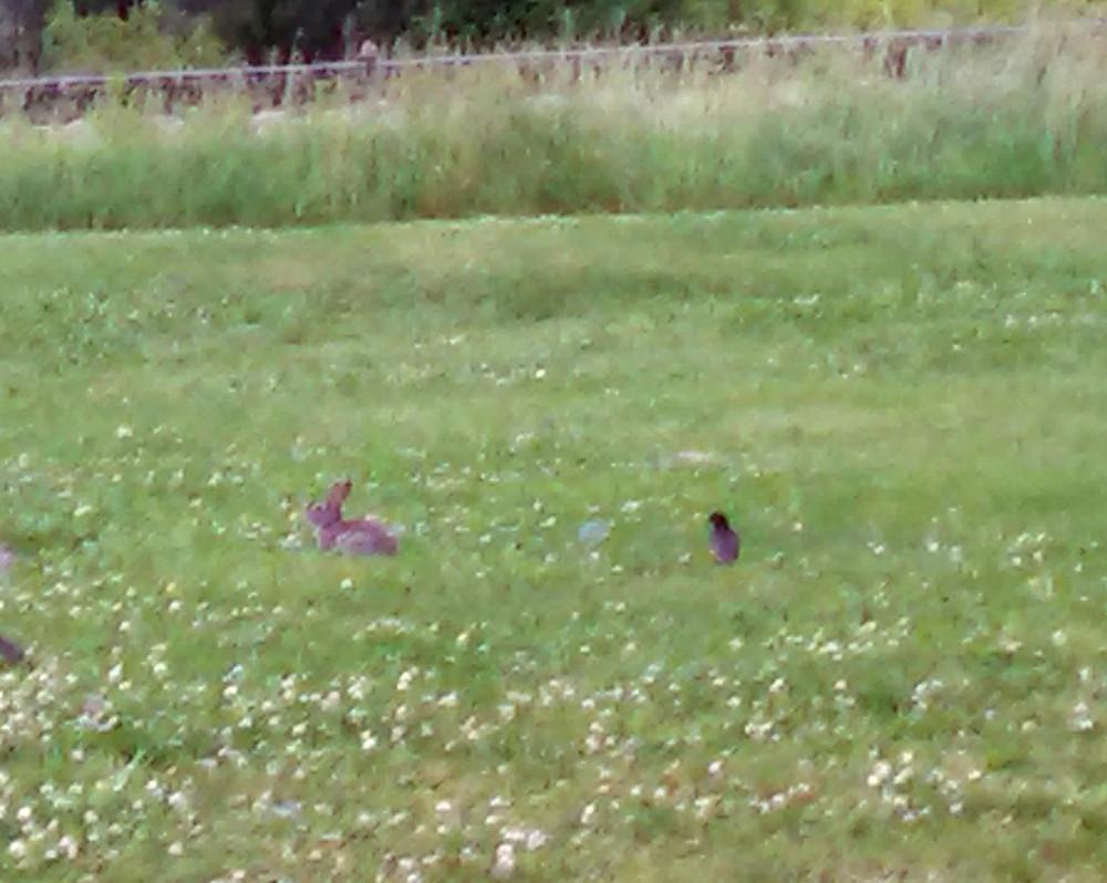 rabbitrobin06-08-15x.jpg