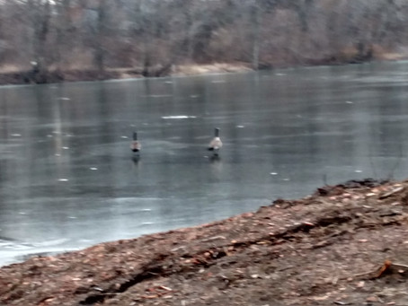 Geese on ice & Stray Casts: Ramble with the Lady