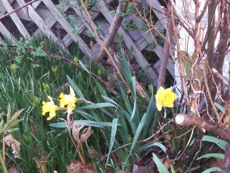 daffodils04-17-15.jpg