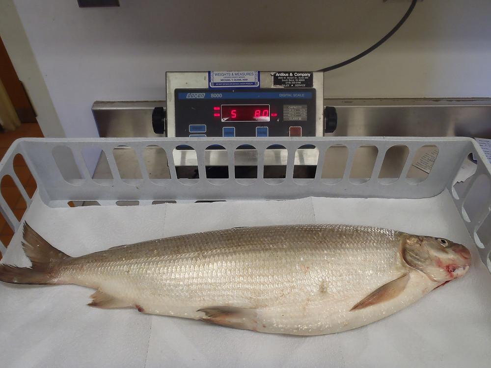 whitefish2015Indianarecord.jpg