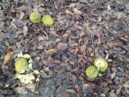 Bear Down, Fair Chase & Smashing Hedge Apples: Ramble with the Lady