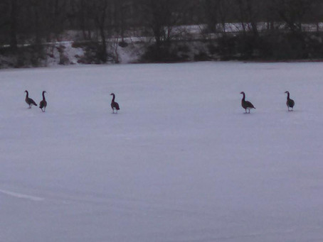 Ramble with the Lady: Antics of geese, The Noble Savage & really warm ice