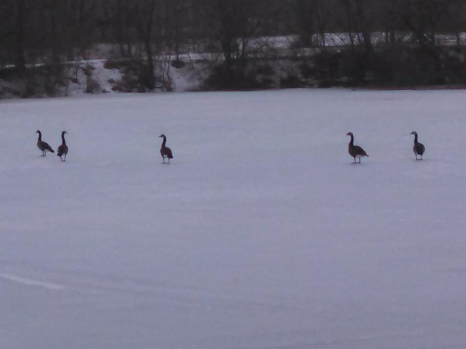 geese03-10-15.jpg