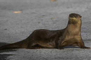 riverotterInded-otter2.jpg