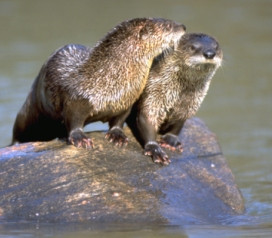 NRC approves limited river otter trapping season