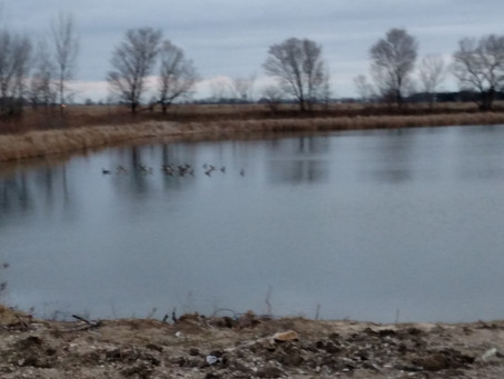 Lesson in goose behavior: Ramble with the Lady