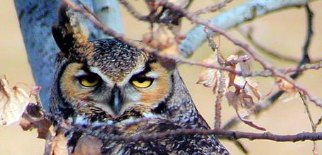 Stray Cast: Jennifer Lawrence & great horned owl