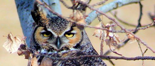 Great-horned-owl-George-Jameson-512-x-219.jpg