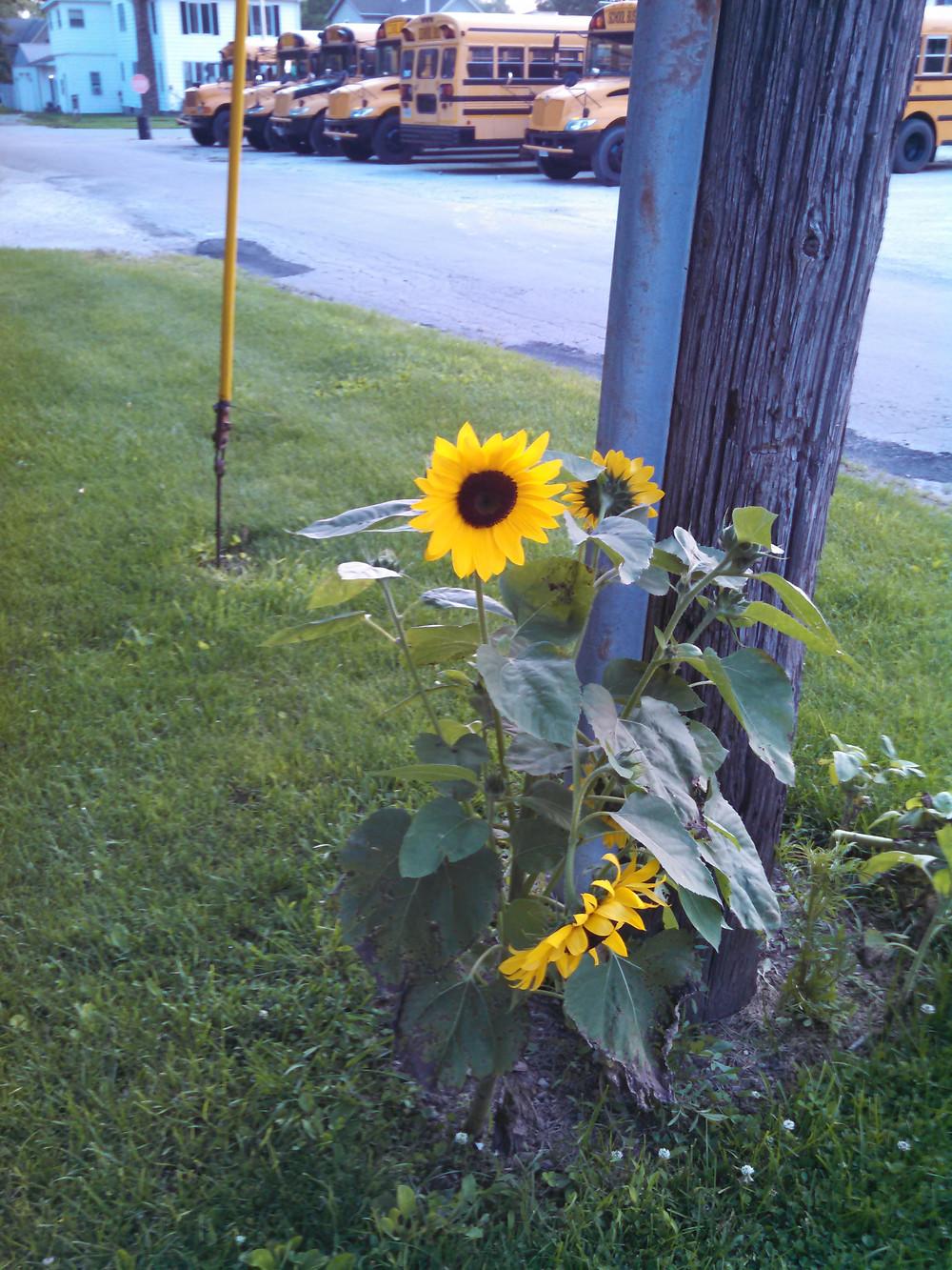 sunflowersbuses07-02-15.jpg
