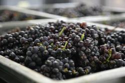 Vendanges raisins coupés