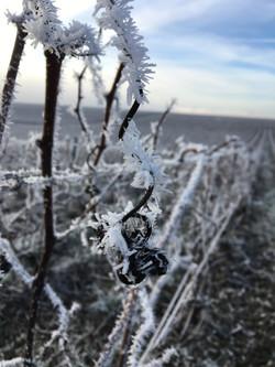 Vigne en hiver