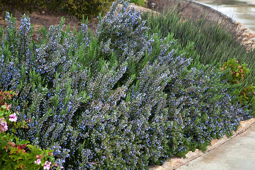 BLOOMING ROSEMARY 12 OUNCE