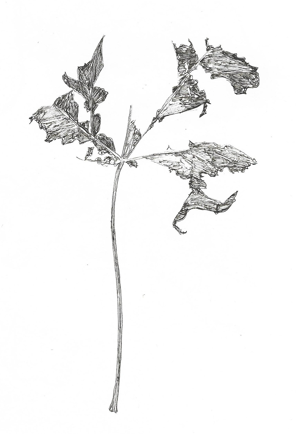 Pen drawing of a leaf