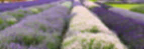 lavender field white.jpeg