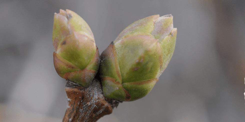 Module 13 : Utilisation des macérats de bourgeons de plantes - 512