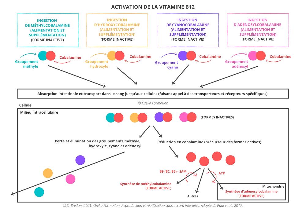 Schéma d'explication de l'activation de la vitamine B12