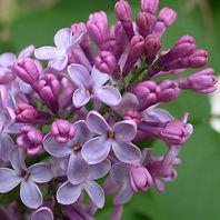 lilas-fleurs2.jpg