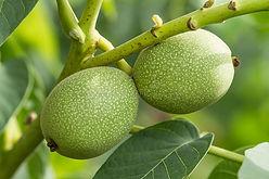 noix-vertes-dans-l-arbre-26100525.jpg